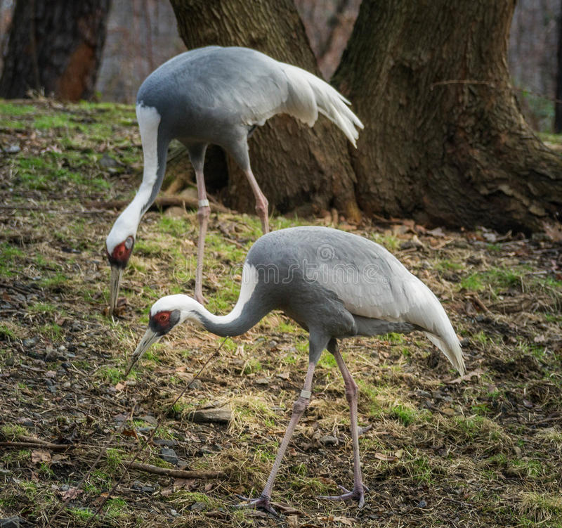 Endangered White-naped Cranes. `White-naped crane-Elegant and Endangered` Range: China, Japan, Korea, Russia. Named for the white at the back of their necks royalty free stock photography