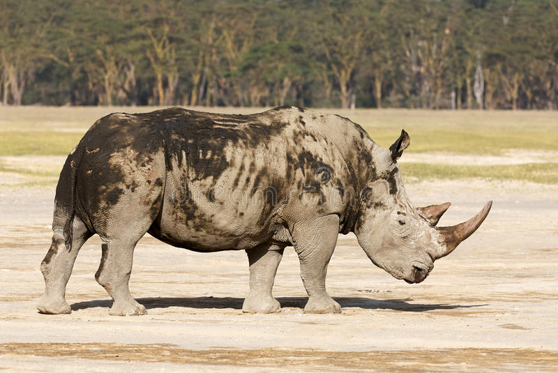 Endangered white rhino. Standing in, covered with mud stock photo