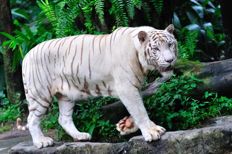 Endangered white tiger stock images