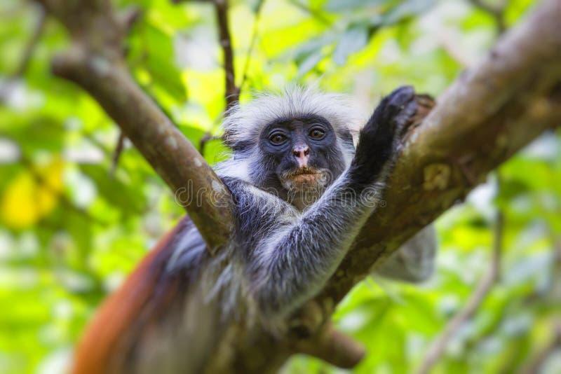 Endangered Zanzibar red colobus monkey Procolobus kirkii, Joza stock images