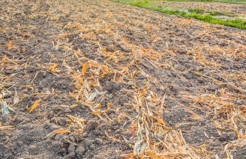 Ende des Sommers, getrockneter Mais nachdem dem Ernten lizenzfreies stockfoto