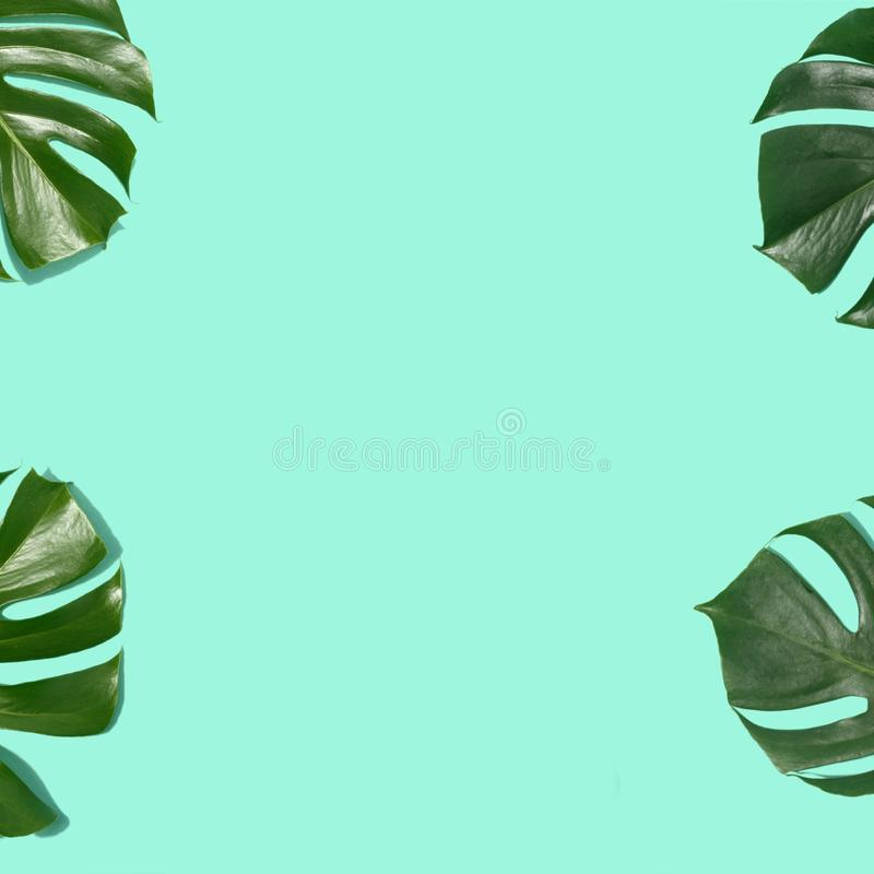 Endecha plana en colores pastel de la opinión de top del fondo de Monstera de las hojas tropicales del capítulo stock de ilustración