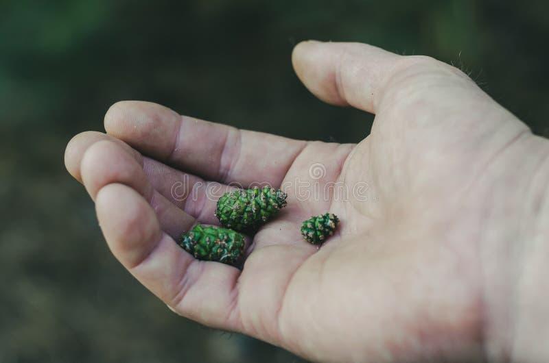 Endecha verde muy pequeña de algunos brotes en la palma de su mano Macro Foco selectivo suave fotografía de archivo libre de regalías