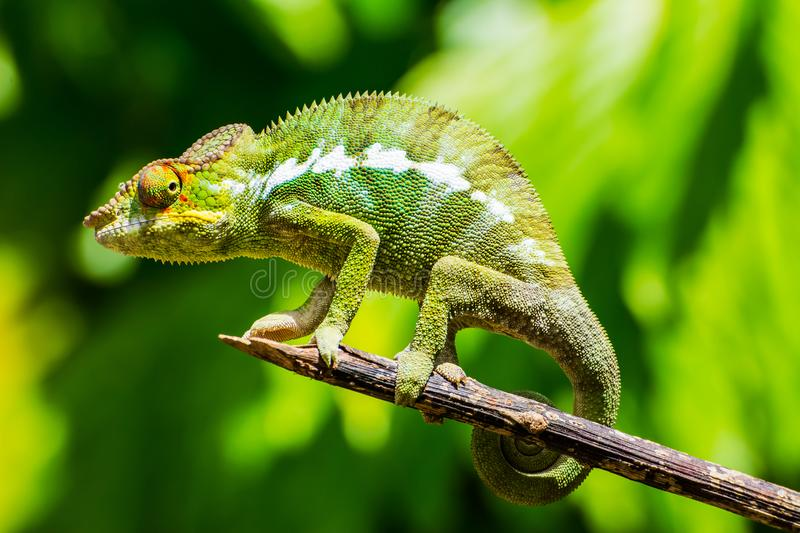 Endemic chameleon in Madagascar royalty free stock photography