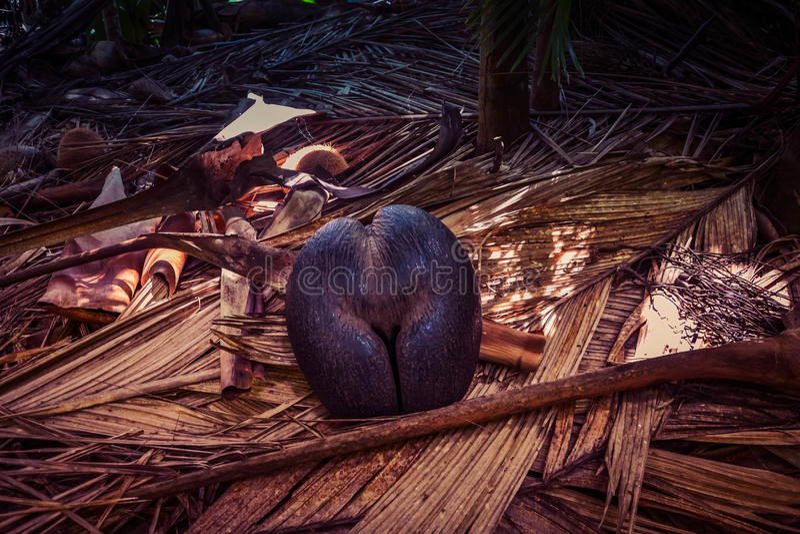 Endemic coco de mer sea coconut in Seychelles stock image