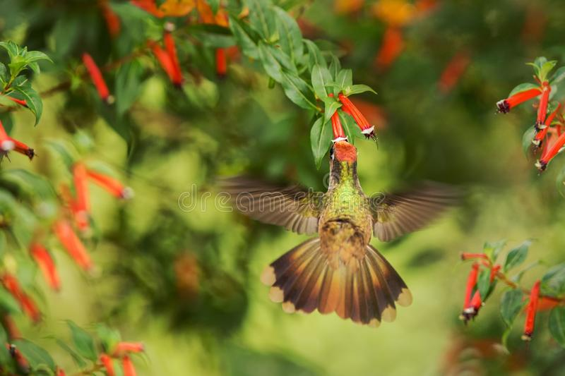 Endemic hummingbird hovering next to red flower in rain,tropical forest, Colombia, bird sucking nectar from blossom in garden,beau. Tiful hummingbird with stock photography