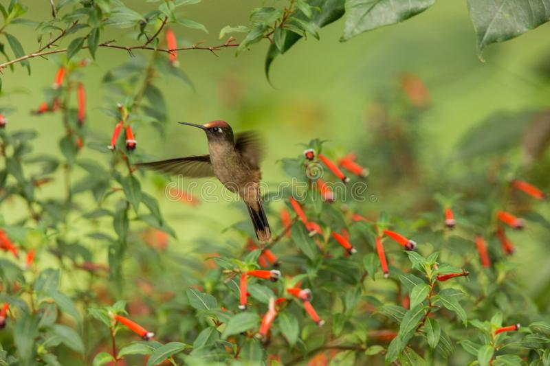 Endemic hummingbird hovering next to red flower in rain,tropical forest, Colombia, bird sucking nectar from blossom in garden,beau. Tiful hummingbird with stock photos