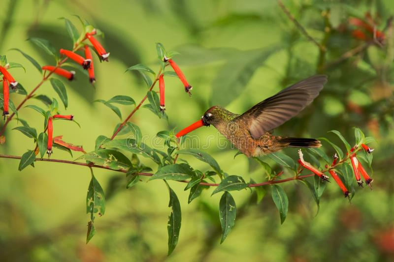 Endemic hummingbird hovering next to red flower in rain,tropical forest, Colombia, bird sucking nectar from blossom in garden,beau. Tiful hummingbird with royalty free stock photography