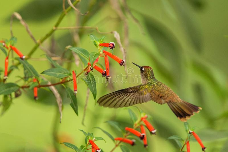 Endemic hummingbird hovering next to red flower in rain,tropical forest, Colombia, bird sucking nectar from blossom in garden,beau. Tiful hummingbird with royalty free stock photos