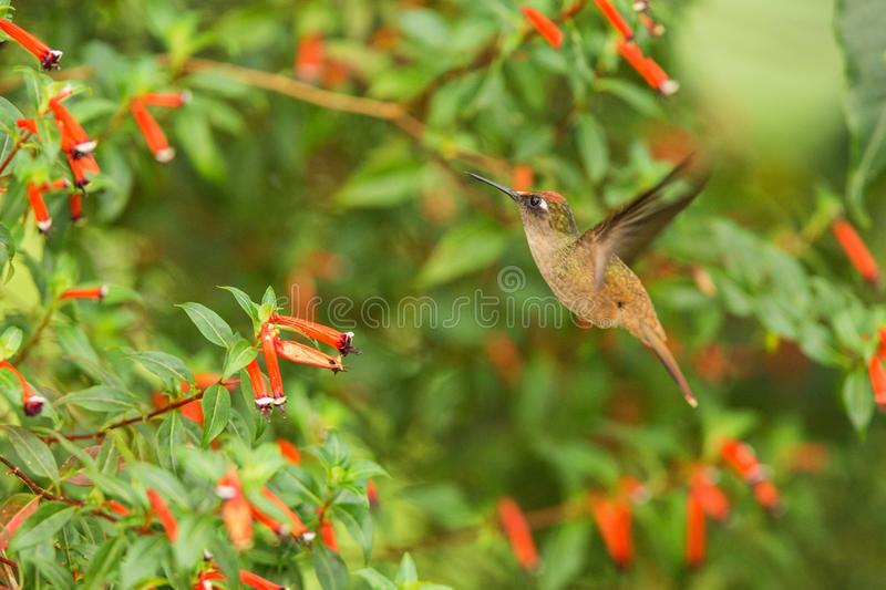 Endemic hummingbird hovering next to red flower in rain,tropical forest, Colombia, bird sucking nectar from blossom in garden,beau. Tiful hummingbird with royalty free stock image