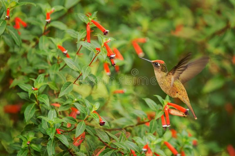 Endemic hummingbird hovering next to red flower in rain,tropical forest, Colombia, bird sucking nectar from blossom in garden,beau. Tiful hummingbird with royalty free stock photo
