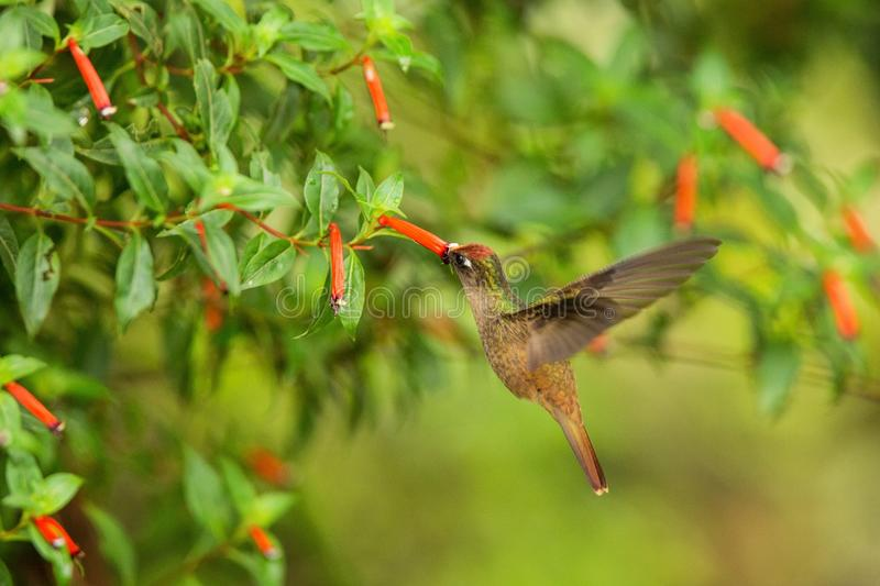 Endemic hummingbird hovering next to red flower in rain,tropical forest, Colombia, bird sucking nectar from blossom in garden,beau. Tiful hummingbird with stock image