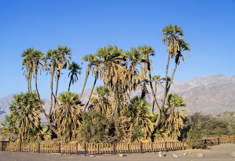 Endemic palms in desert near Eilat, Israel. Eilat is a famous resort city in Israel stock photography