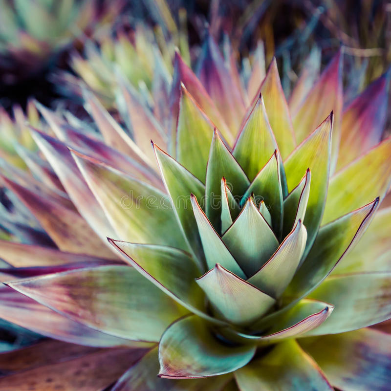 Endemic plant from Mount Roraima in Venezuela stock photos