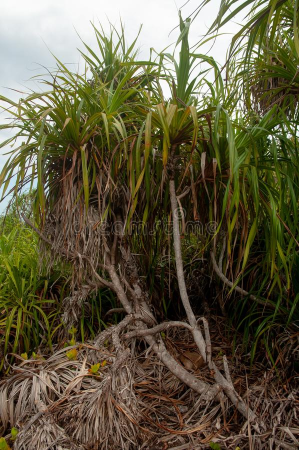 The endemic plant Pandanus multispicatus, Curiese island, Seychelles stock image