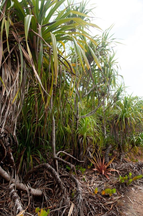 The endemic plant Pandanus multispicatus, Curiese island, Seychelles. The endemic plant Pandanus multispicatus, on the coast of Curiese island, Seychelles stock photo