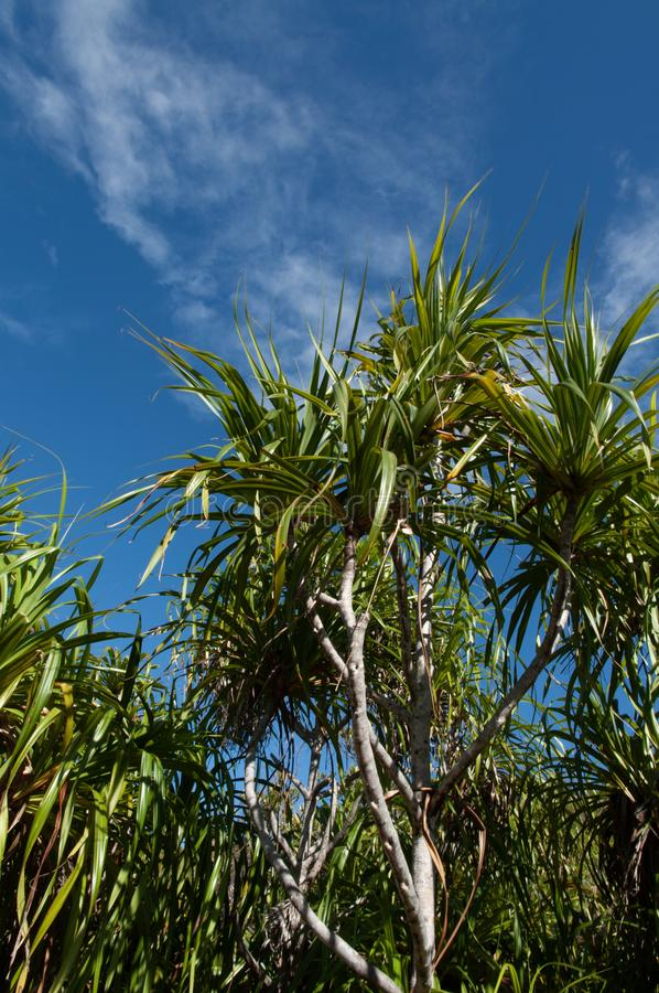The endemic plant Pandanus multispicatus, Curiese island, Seychelles stock images
