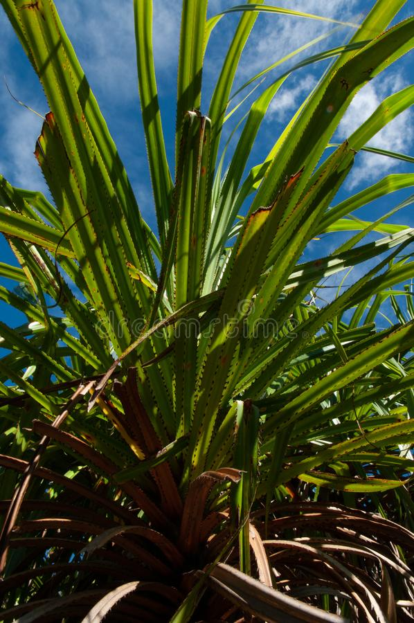 The endemic plant Pandanus multispicatus, Curiese island, Seychelles royalty free stock photos