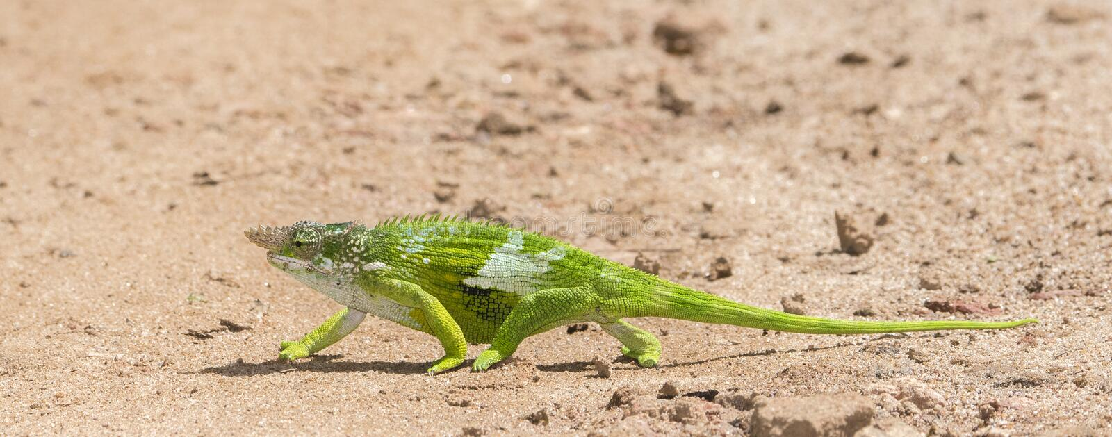 The Endemic & Threatened Usambara Two-horned Chameleon Kinyongia multituberculata in Tanzania royalty free stock photos