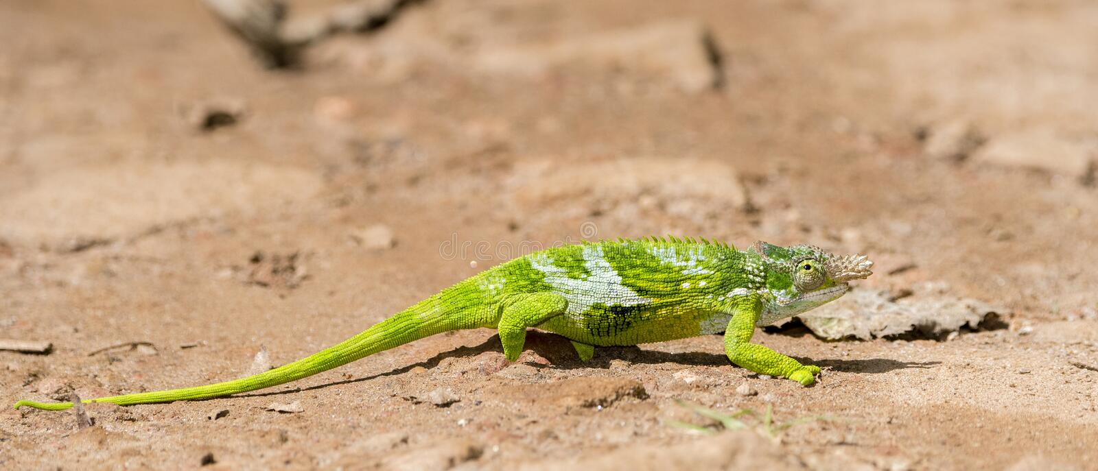 The Endemic & Threatened Usambara Two-horned Chameleon Kinyongia multituberculata in Tanzania royalty free stock images