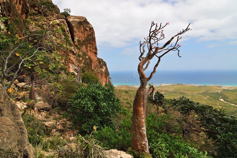 Endemiczna roślina Socotra wyspa, Jemen, Afryka zdjęcie royalty free