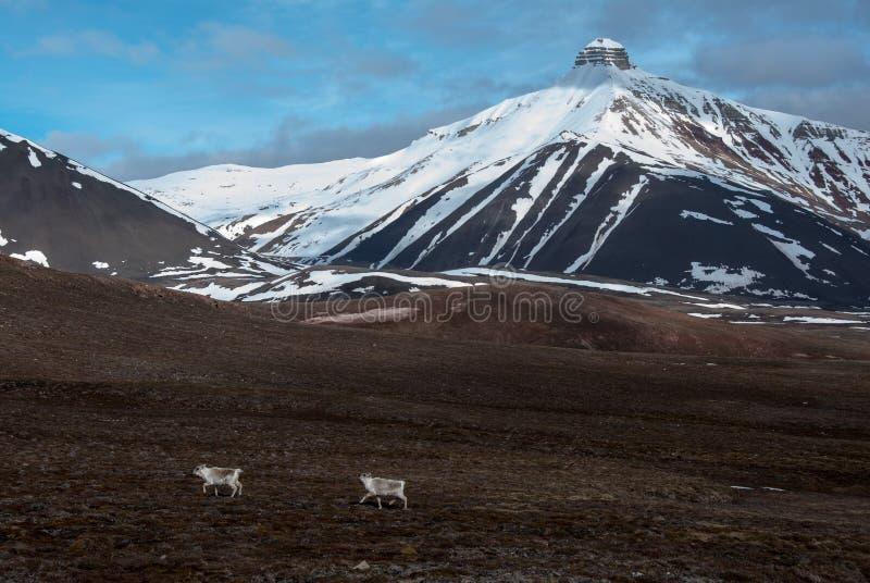 Endemiczni Svalbard renifery biega pod Pyramida górą w Rosyjskim miasto widmo Pyramiden w Svalbard fotografia stock