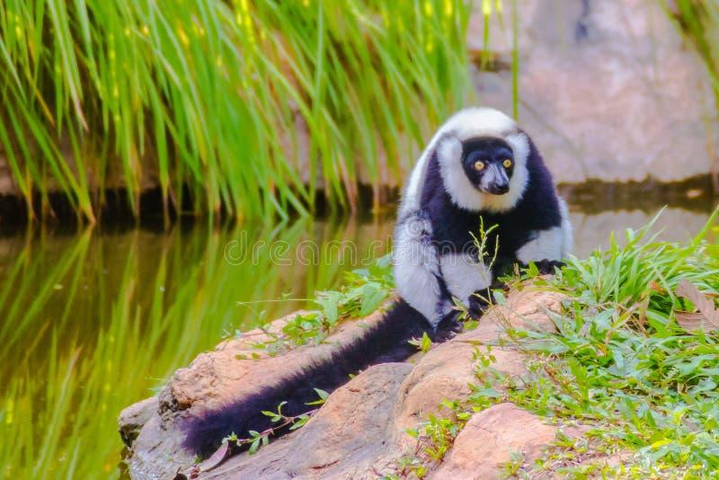 Endemiczny Czarno biały ruffed lemur (Varecia variegata subcinct zdjęcia royalty free