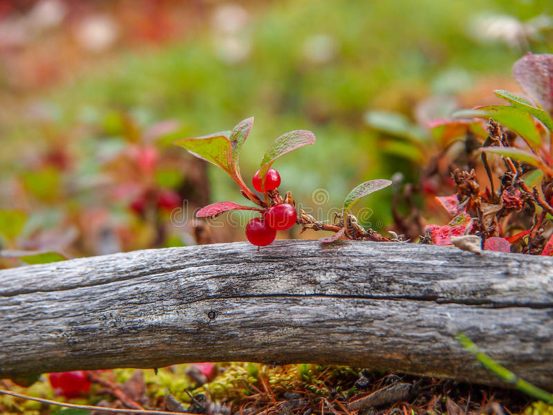 Endemische und seltene Erdbeere lizenzfreie stockfotografie