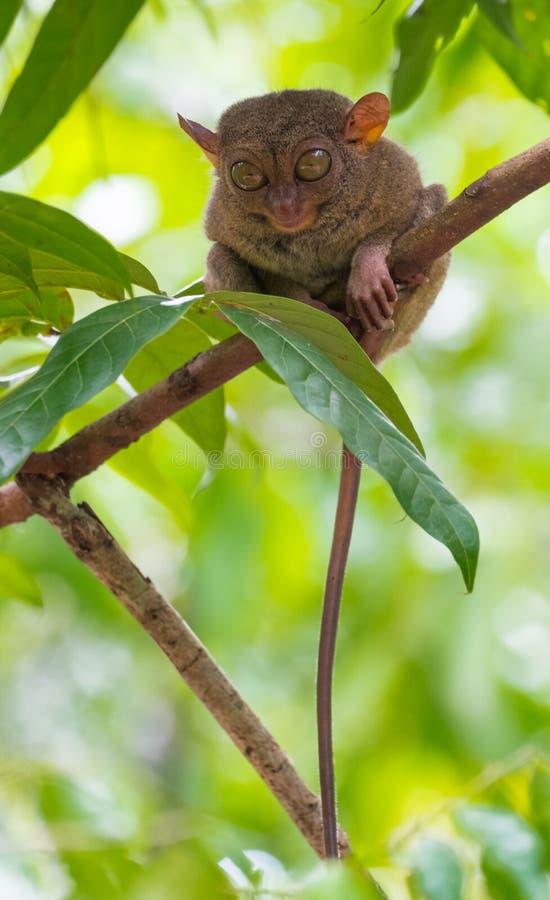 Endemisk djura Tarsier som sover i ett träd på Bohol royaltyfri foto