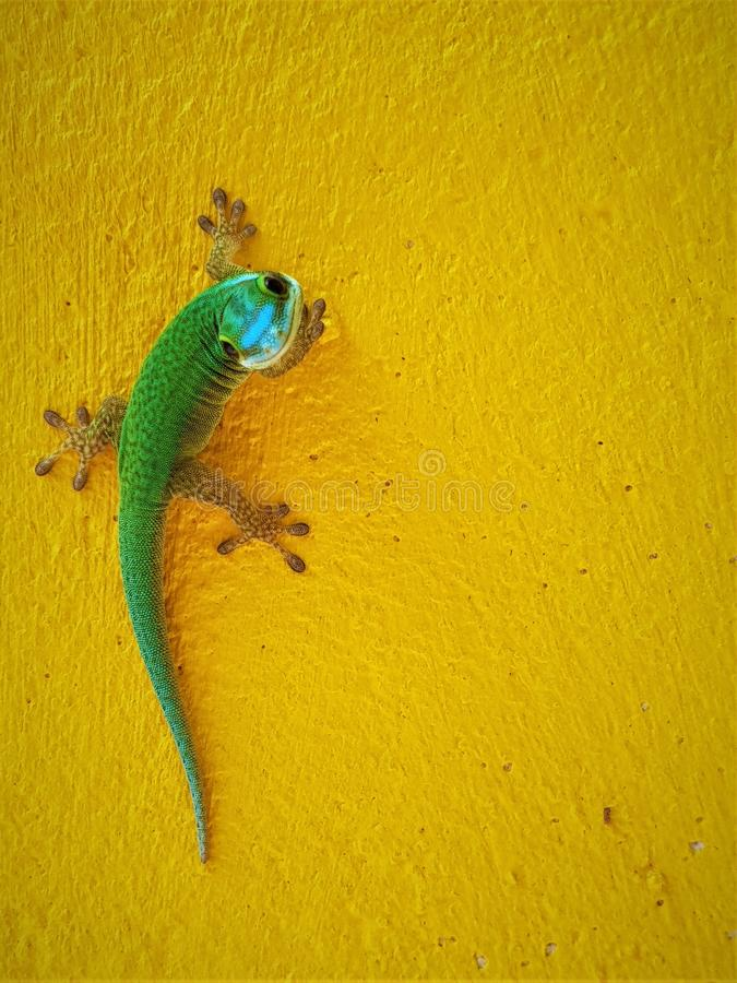 Endemiskgräsplangecko från La Reunion Island Nära övre bild av geckon som ser kameran royaltyfria foton