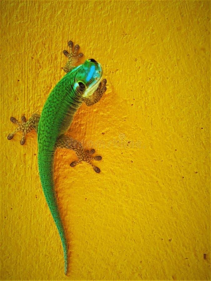 Endemiskgräsplangecko från La Reunion Island Nära övre bild av geckon som ser kameran arkivbild