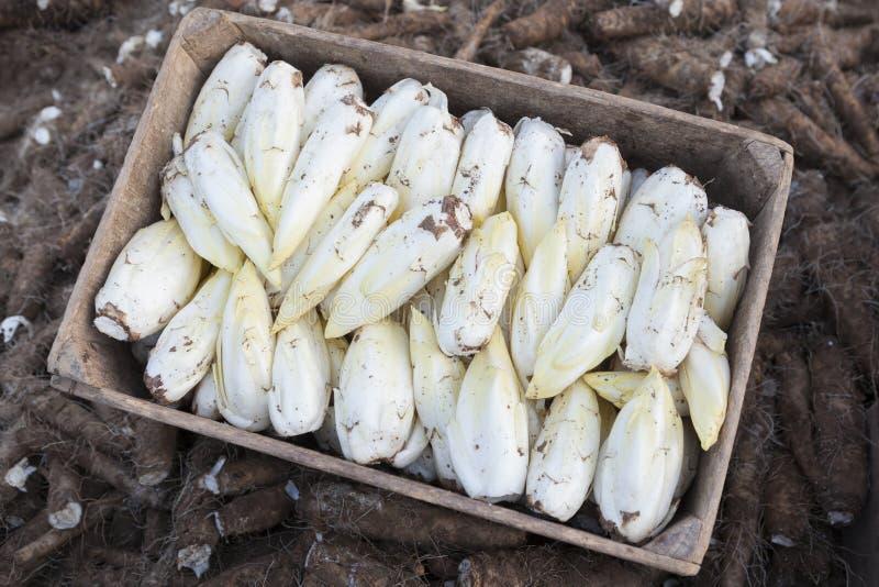 Endibias /Chicory crecido en suelo imagen de archivo libre de regalías