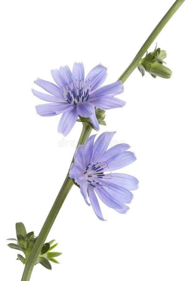 Endive fleurissante bleue fraîche photo stock
