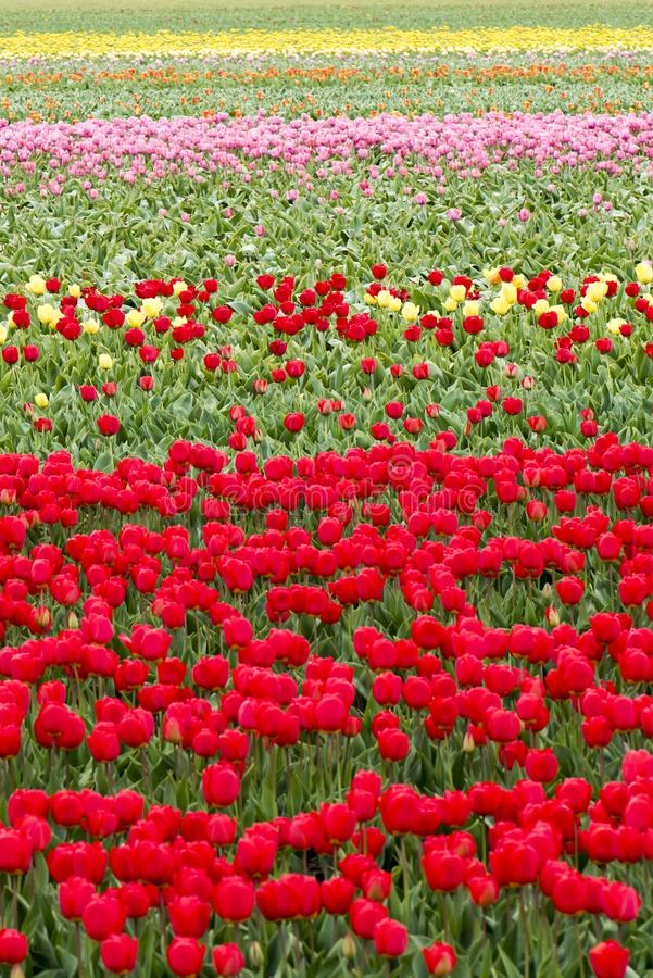 Endless colorful tulips - wallpaper. Endless colorful flowering tulip fields in spring in South Holland stock photography