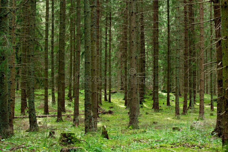Endless fir forest. Fir tree trunks with beams of sunlight trickling down on grass covered ground stock photography
