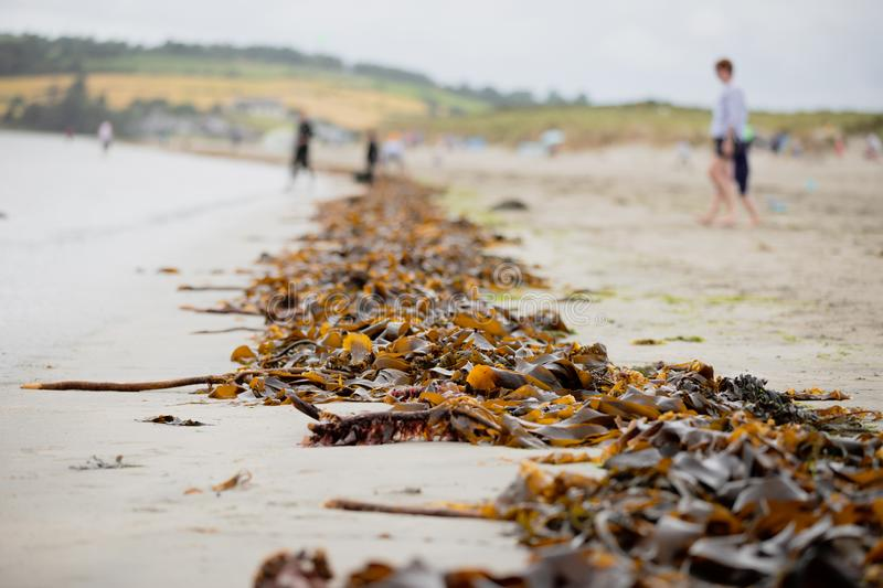 An endless line of sea ​​algae washed up shore after high tide at Inchydoney beach royalty free stock images