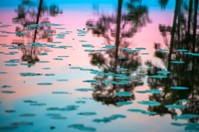 Endless polar day in the Arctic. A beautiful reflection of the night sky pink and a trees in a glossy water of the lake. Float the leaves in water stock photography