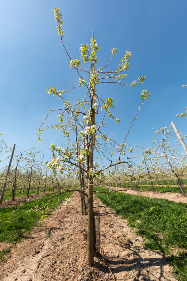 Endless rows of pear trees stock image