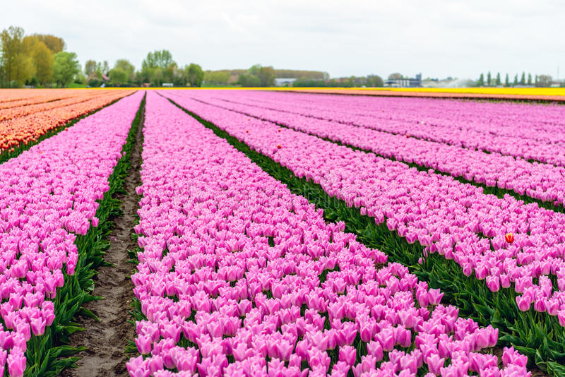 Almost endless rows of pink flowering tulip flowers in a large f. Ield at a specialized Dutch bulb nursery. It`s an early morning on a day at the beginning of stock photo