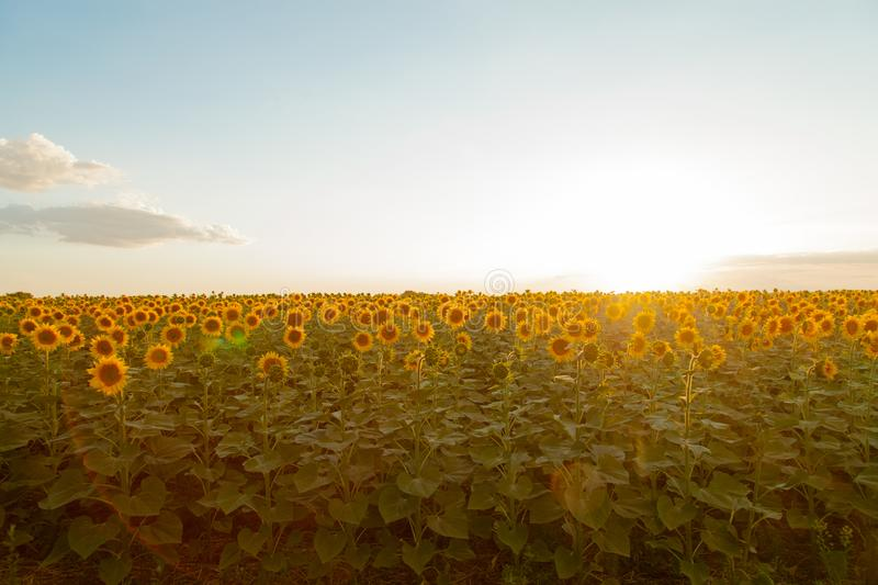 Sunflower fields during sunset. Digital composite of a sunrise o stock images