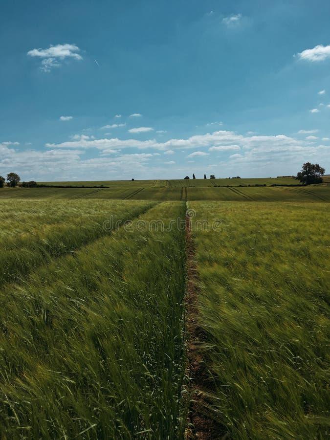 Endless wheat field stock image
