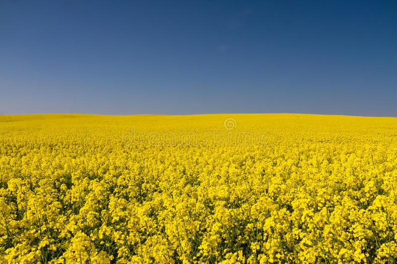 Endless yellow canola field under a blue sky stock images