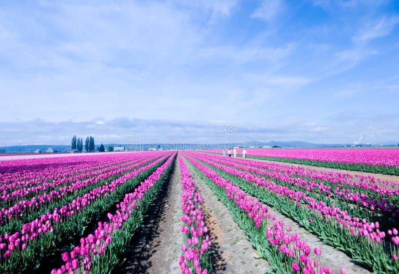 Endlose rosafarbene Tulpen stockbilder