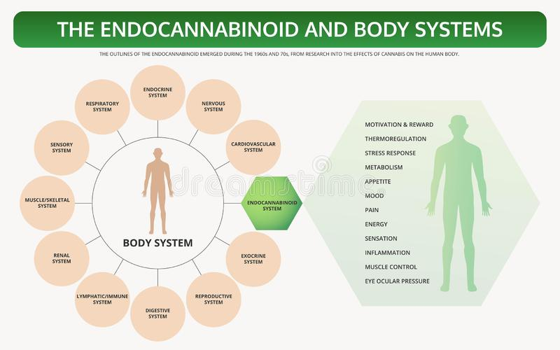 Endocannabinoid and Body Systems horizontal textbook infographic royalty free illustration