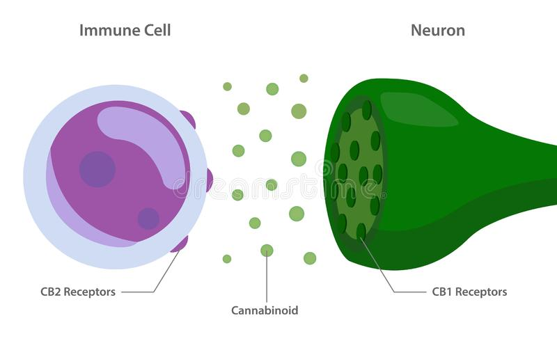 The endocannabinoid system with cannabinoid receptors between immune cell and neuron royalty free stock image