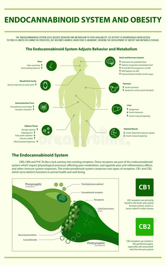 Endocannabinoid System and Obesity vertical infographic. Illustration about cannabis as herbal alternative medicine and chemical therapy, healthcare and medical vector illustration