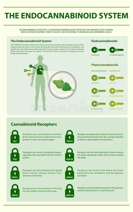 The Endocannabinoid System vertical infographic. Illustration about cannabis as herbal alternative medicine and chemical therapy, healthcare and medical science royalty free illustration
