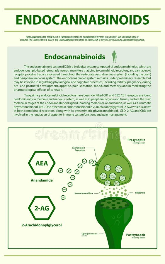 Endocannabinoids vertical infographic. Illustration about cannabis as herbal alternative medicine and chemical therapy, healthcare and medical science vector vector illustration