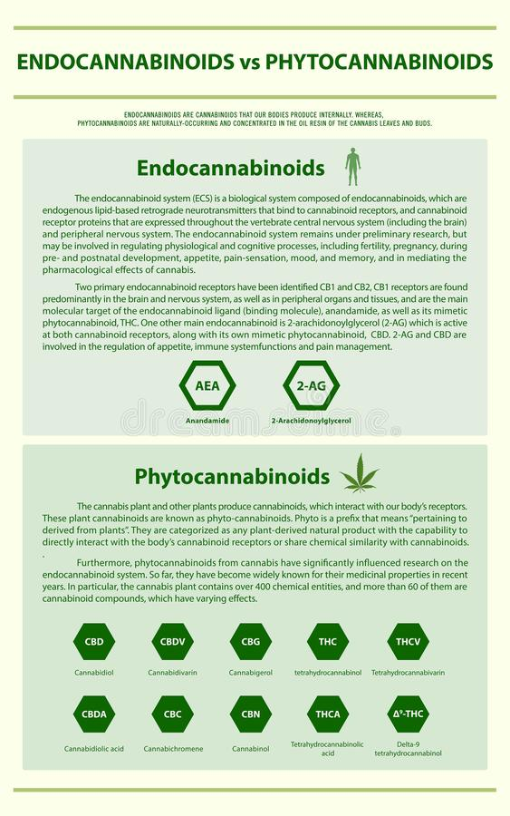 Endocannabinoids vs Phytocannabinoids vertical infographic. Illustration about cannabis as herbal alternative medicine and chemical therapy, healthcare and stock illustration