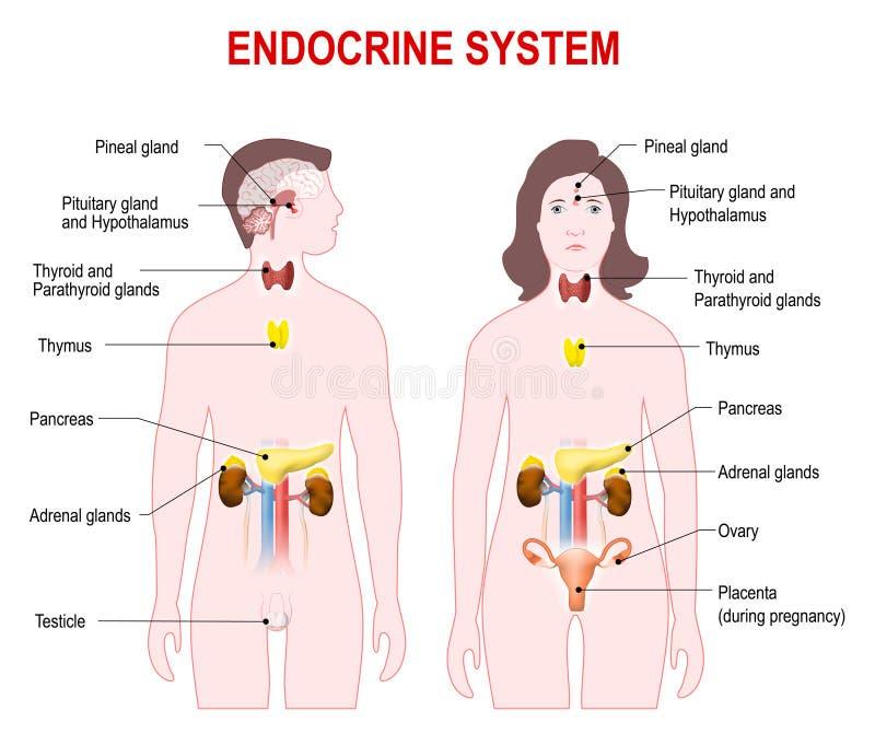 Endocrien systeem vector illustratie